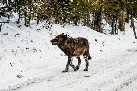 Gray wolf in Yellowstone National Park Stock Photo