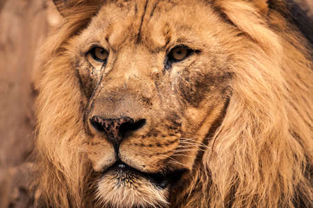 Portrait of an old African lion