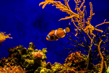 Clownfish with coral