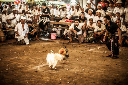 Bali, Indonesia - 13 April, 2013: Cock fighting at an aerna on the outskirts of Denpassar on the island of Bali, Indonesia