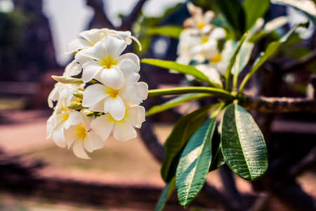 White plumeria flowers in full bloom on a sunny day