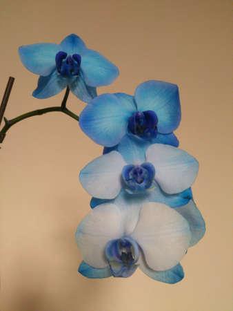 cascading: A stem of cascading blue orchids