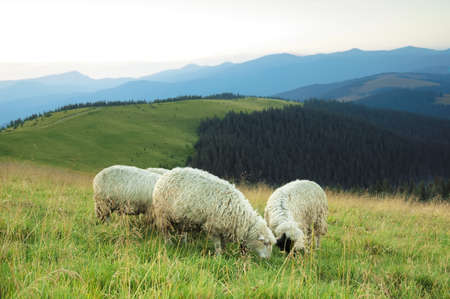 Sheep grazed on a valley in mountains Stock Photo