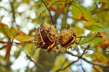 Autumn leaf and chestnut Archivio Fotografico