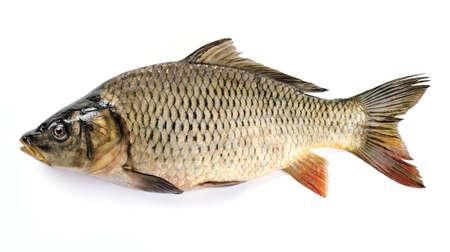 pez carpa: La carpa común aislado en el fondo blanco