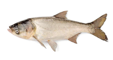 Fish Silver Carp, Hypophthalmichthys Molitrix Isolated on White Background Stock Photo