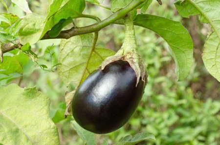Eggplant in the Kitchen Garden Stock Photo