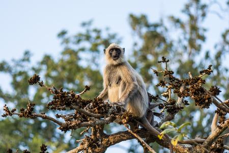 A Gray Langur staring from a tree branch in Mudumalai Tiger Reserve Standard-Bild - 100269412