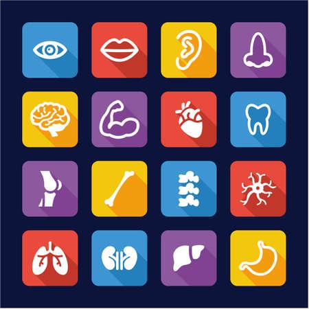 higado humano: Anatomía Humana iconos planos Diseño Vectores
