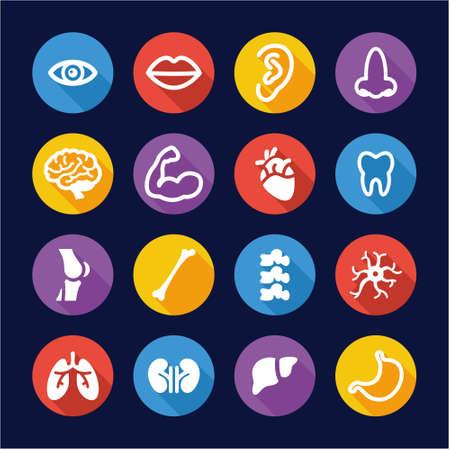 human vein: Human Anatomy Icons Flat Design Circle Illustration
