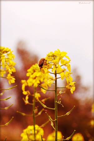 Sinapis alba wild flower wild flower in blossoming background and wallpapers in top high quality prints