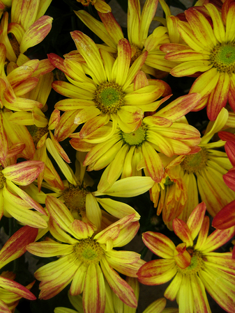 Chrysanthemum flower macro background wallpaper colorful fine art prints.