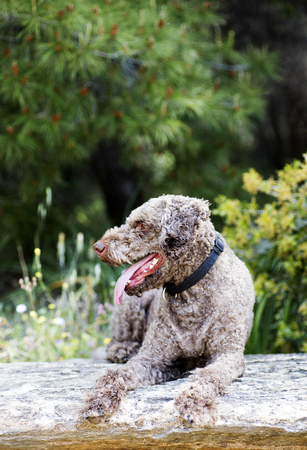 Super cute dog portrait Lagotto romagnole macro background fine art in high quality prints products 50,6 Megapixels