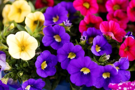 Viola tricolor flower Johnny run up Violaceae family macro background high quality prints Stock Photo
