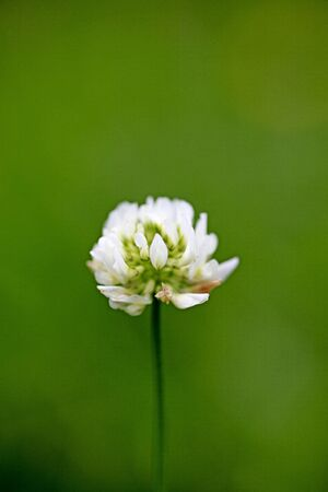 Flower Trifolium repens or Dutsch clover Leguminosae family macro background fine art in high quality prints products fifty megapixels prints