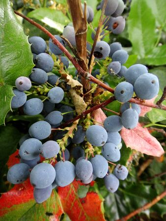 Flower fruits identity macro background fine art in high quality Berberis aquifolium pursh mountain grape berberidaceae
