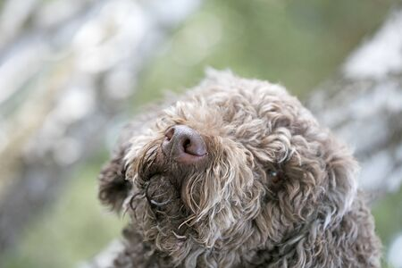 Truffle dog portrait in wild forest macro background fine art high quality prints products fifty megapixels lagotto romagnolo