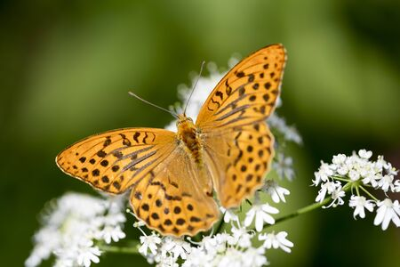 Orange butterfly sitting on white flower macro background fine art high quality prints products fifty megapixels Stock Photo
