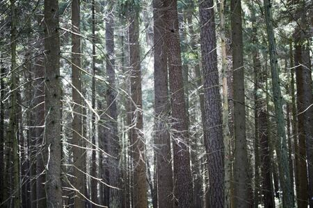 Lots of strait wild trees background fine art in high quality prints products fifty megapixels Absberg forest