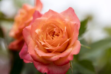 Pink rose macro background fine art high quality prints products fifty megapixels 免版税图像