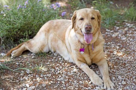 Labrador sweet macro portrait fifty megapixels prints Stock Photo - 128395765