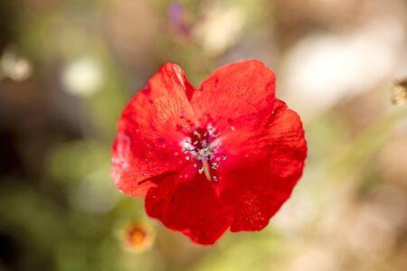 Wild red papaver rhoeas macro papaveraceae fifty megapixels printables