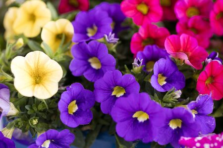 Flower viola tricolor family viloceae fifty megapixels macro background fine art in high quality prints products Stock Photo