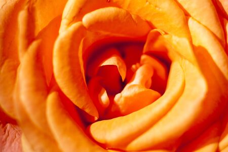 Orange rose macro background high quality prints modern texture home decoration digital posters beautiful graphic abstract art smooth colorful design Stock Photo
