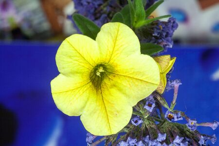Petunia hybrid yellow flower macro background high quality prints solanaceae family modern digital posters Stock Photo