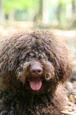 Dog with long hair rebel portrait high quality lagotto romagnolo rasta fine prints