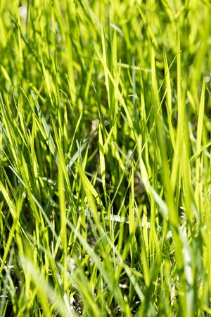 Green grass macro natural background texture fresh spring summer fifty megapixels fine prints art Stock Photo