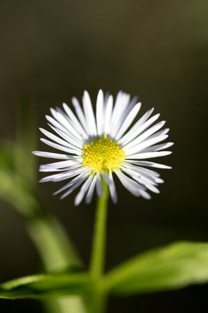 White wild flower with macro in nature background fifty megapixels Erigeron annuus family asteraceae high quality Stock Photo