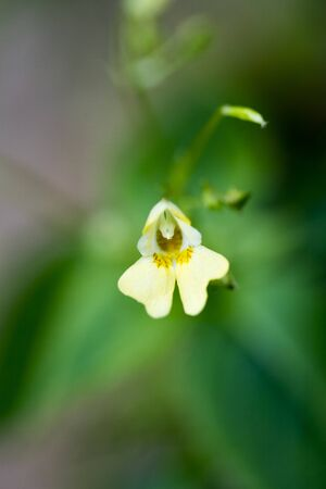 Yellow small wild flower macro impatiens parviflora fifty megapixels high quality 免版税图像