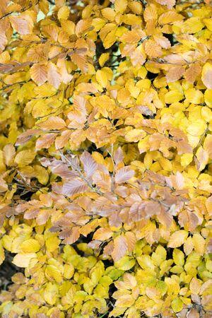 Yellow autumn leafs ready to fall macro background fifty megapixels Stock Photo