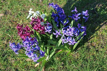 Hyacinthus orientalis flower macro background high quality fifty megapixels asparagaceae family
