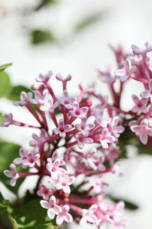 Syringa vulgaris macro flower family oleaceae background high quality prints
