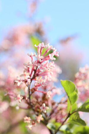 Syringa vulgaris macro summer flower family oleaceae background high quality print