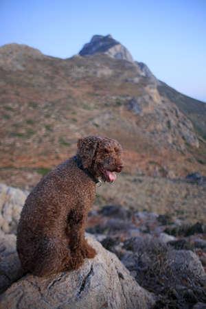 Brown dog portrait close up on the beach lagotto romagnolo truffle hunter crete greece covid-19 season modern high quality print
