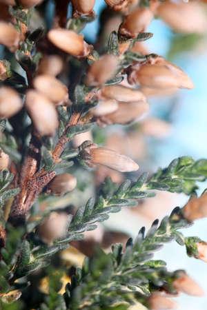 Flower blossoming Erica carnea family Ericaceae modern background high quality botanical print Standard-Bild