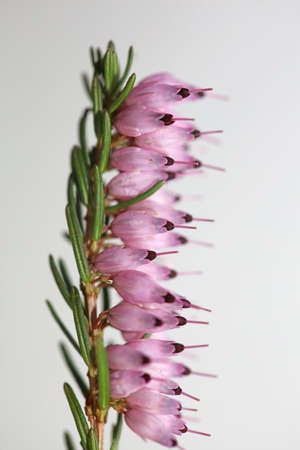 Macro of blooming pink flower with tiny little buds on spring Erica carnea family ericaceae modern high quality print Standard-Bild