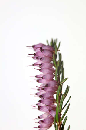 Macro of blooming pink flower with tiny little buds on spring Erica carnea family ericaceae modern high quality print