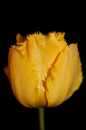 Yellow tulip flower blossom close up background family liliaceae botanical modern high quality big size prints Imagens