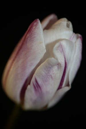 Tulip flower close up background family liliaceae botanical modern high quality big size prints Imagens