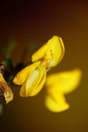 Yellow flower blossom close up spartium jenceum family leguminosae botanical modern background high quality big size prints