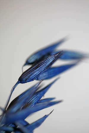 Decoration wheat colored in blue botanical background modern high quality big size prints triticum aestivum family poaceae Stock fotó