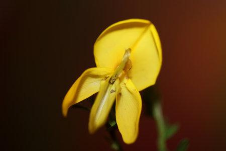 Yellow flower blossom close up spartium jenceum family leguminosae botanical modern black background high quality big size prints