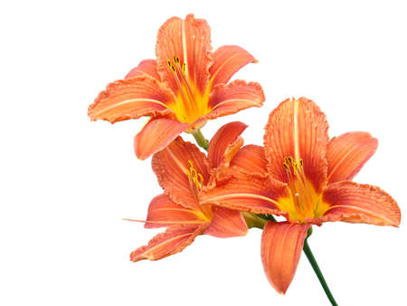 oranje lelie: Licht oranje lelie bloemen geïsoleerd op witte achtergrond