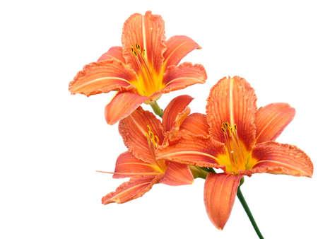Light orange lily flowers isolated on white background photo
