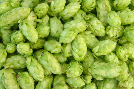 hops: close-up of green hops  useful for background