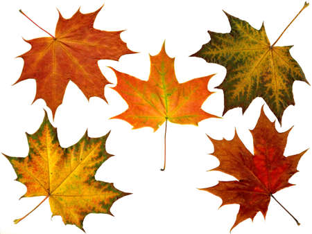 5 different autumn leaves from a maple photo